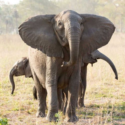 Why no tusks? Poaching tips scales of elephant evolution