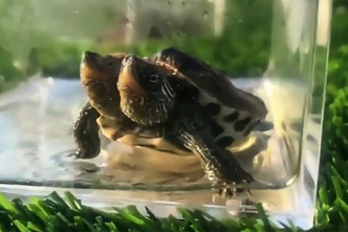 Mutant turtle with two heads still alive after 3 months