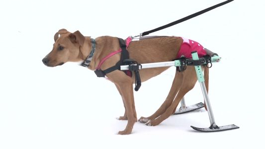 Courage, a partially paralyzed pup that loves to ski, seeks forever home