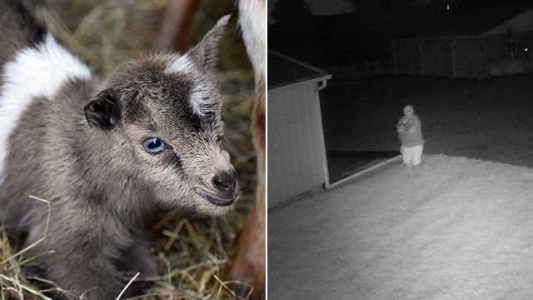 3-week-old goat reported stolen from farm in Glen Arm