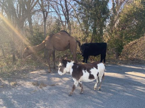 'Halfway toward a live nativity': Camel, cow, donkey spotted roaming together along Kansas road