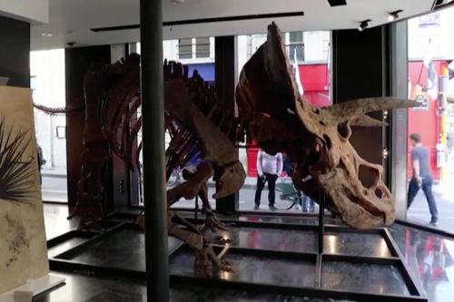 Largest triceratops fossil ever expected to fetch up to 1.5 million euros at Paris auction