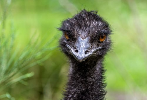 Residents say 'feisty' emu spotted in their neighborhood has evaded capture for a year