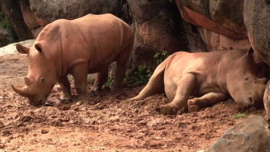 Zoo's southern white rhinos Nos. 30, 33 now have names