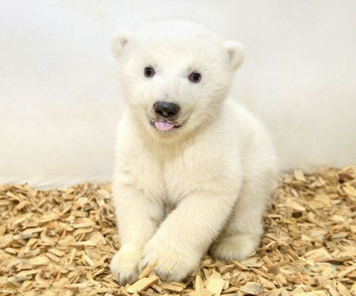It's a girl! Zoo's adorable baby polar bear has 1st checkup