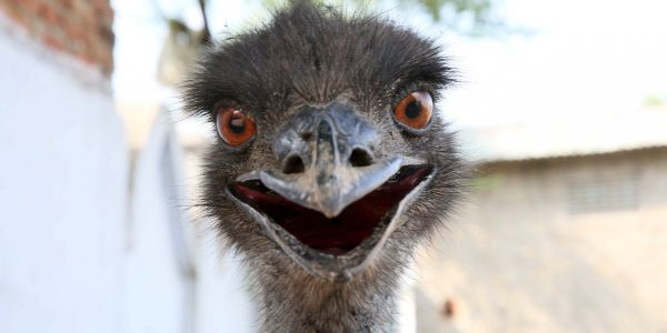 An emu has evaded capture in North Carolina for 3 weeks - and experts warn that this is no laughing matter