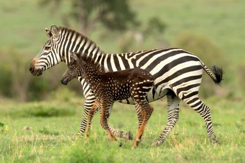 Rare spotted zebra spotted at Kenyan wildlife reserve