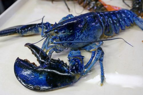 Restaurant donates rare lobster to honor Blues' Stanley Cup win
