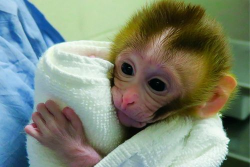 Monkey's birth could hold key to saving fertility of boys with cancer