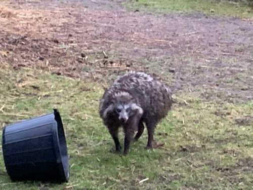 Police warn of 'dangerous' raccoon dogs on the loose in English village