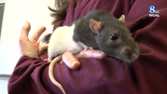 Lab rats looking for homes after retiring from Millersville University's psychology department