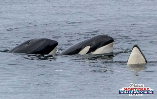WATCH: Pod of orcas visits in the Monterey Bay