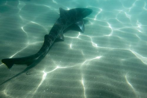 Sharks in Southern California coastal waters gathering in record numbers