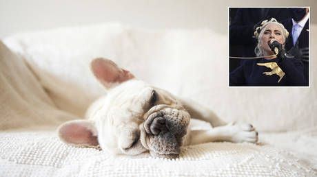 FBI looking into potential POLITICAL MOTIVE behind violent dognapping of Lady Gaga's bulldogs - reports