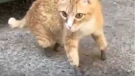 Cat loses 4 paws to frostbite, gets artificial limbs and walks, video shows