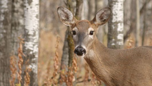 Here's what you need to know about the 'zombie' deer disease now impacting wildlife in 24 states