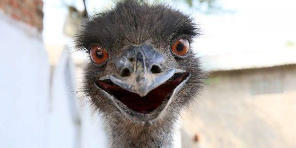 After months on the loose, an elusive emu has finally been spotted in North Carolina