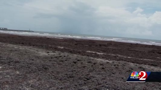 Seaweed taking over Brevard County beaches