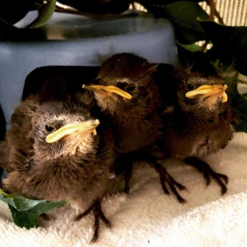 'Literally thrown away in the trash': Baby birds rescued after being found in dumpster