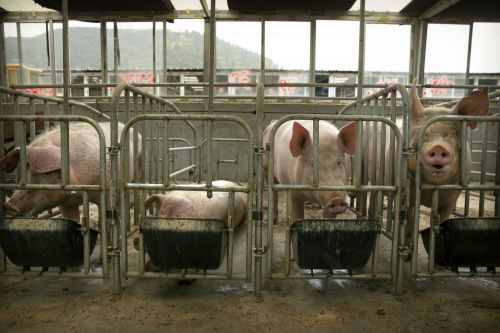 Scientists rush for vaccine as deadly virus threatens world's pork supply