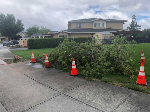 Gilroy police search for illicit lumberjack, 1 city tree felled