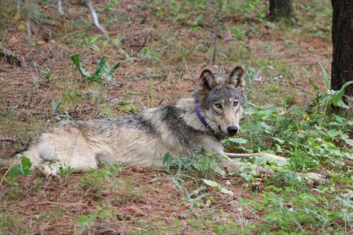 Wolf tracked near Yosemite park for first time in 100 years