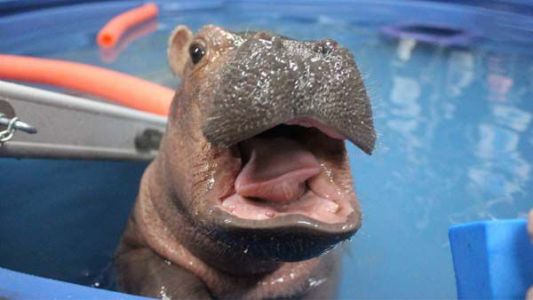 Celebrate National Hippo Day with Fiona's greatest hits