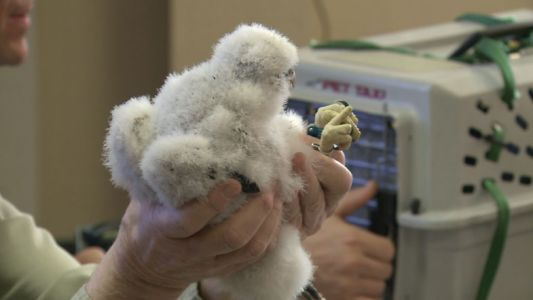 Four peregrine falcons named, banded at We Energies