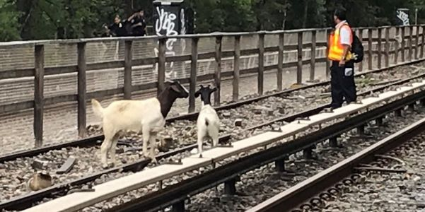 2 goats are on the loose on Brooklyn subway tracks, and the MTA is making bad puns about them