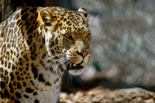 Leopard decapitates 3-year-old after animal sneaks into kitchen