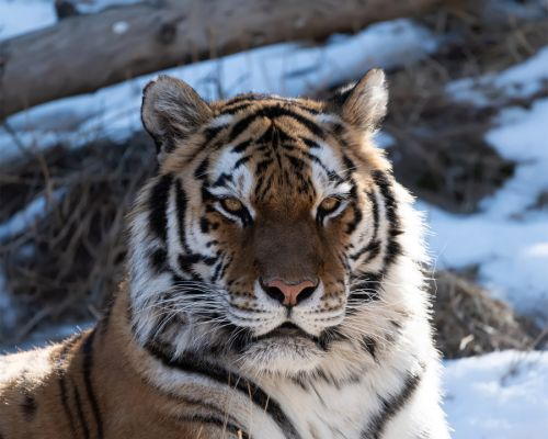 Endangered tiger dies during artificial insemination procedure at Colorado zoo