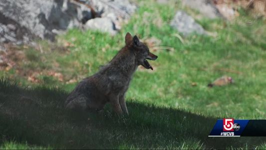 Tips on how to avoid an unwanted visit from a coyote
