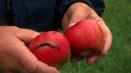 How Orchards Protect Their Apples From Rain-Induced 'Shoulder Cracks'