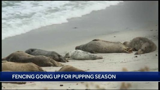 Harbor seal pupping season to start in Pacific Grove