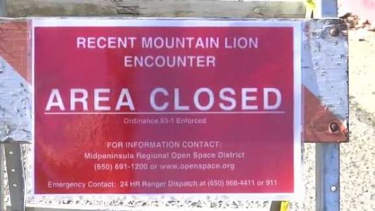 6-year-old girl attacked by a mountain lion saved by adult who punched it in the ribs