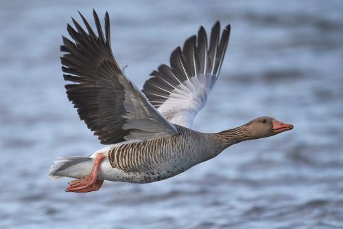 Man strangles a Canada goose he claims 'attacked him' at a gas station