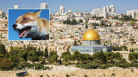 Foxes spotted on Jerusalem's Temple Mount trigger prophecy theories about third Jewish temple