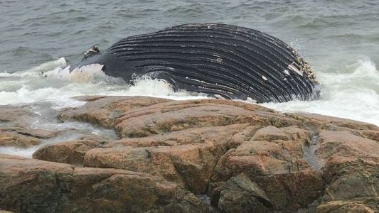 Whale washes up on South Shore beach