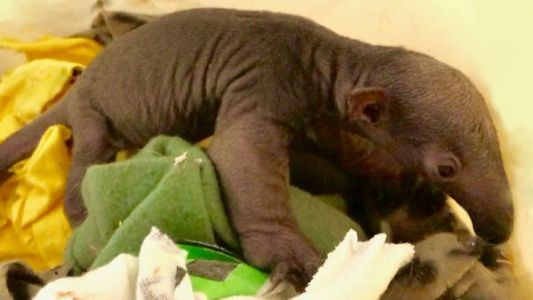 Watch as zoo shows off adorable baby anteater