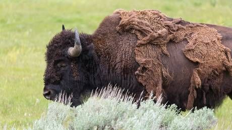 9yo girl tossed into the air by giant buffalo in Yellowstone Park