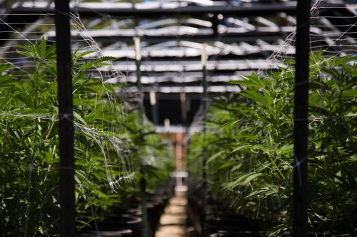 SUNY college to offer classes on growing marijuana