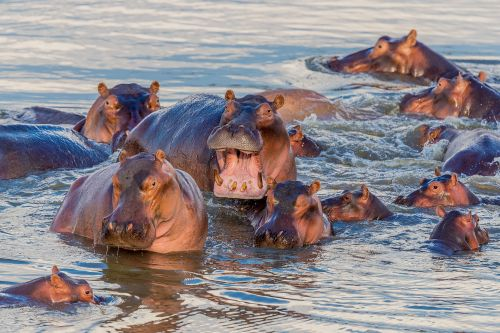 Zambia hippo cull a 'money-grabbing' deal with trophy hunters, charity claims