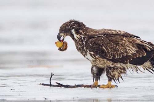 Photographer captures remarkable images of eagle trying to eat rubber duck