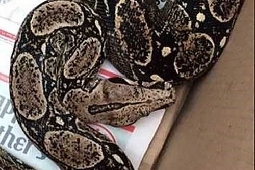 Boa constrictor falls from ceiling, lands on sleeping man