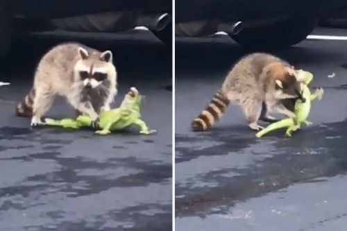 Iguana's tail left twitching after bloody battle with raccoon