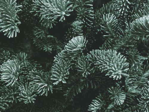 Scientists studying to improve Christmas trees discover water mold affecting Fraser firs