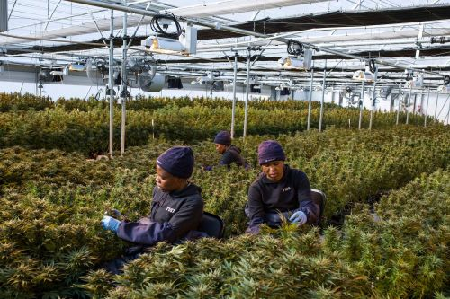 Africa Needs Cannabis to Spark Economic Growth