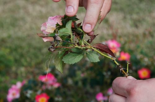 Deadly plant virus causing major damage to roses nationwide