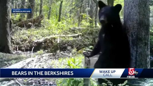Wake Up Call from some bears in the Berkshires