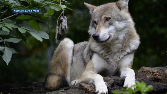 Game and Parks: Gray wolf responsible for killing dog in January in Dodge County